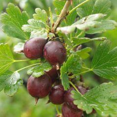Agris rosu (Ribes uva-crispa Hinnonmaki Rod)