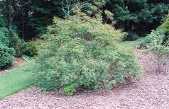 Amorfa (Amorpha fruticosa)