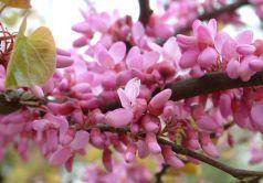 Arborele de Iudeea  (Cercis siliquastrum)