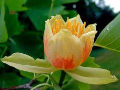 Arborele de lalea (Liriodendron tulipifera) 60-90cm