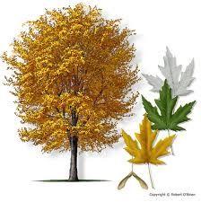 Artar argintiu (Acer saccharinum)