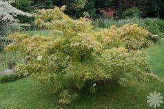 Artar japonez (Acer palmatum) ghiveci 50-80 cm