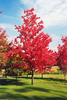 Artar rosu (Acer rubrum October Glory)
