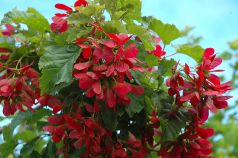 Artar tatarasc (Acer tataricum)