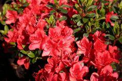 Azalee (Rhododendron Fridoline)