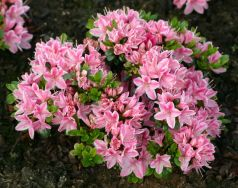 Azalee roz (Rhododendron Kermesina Rose)