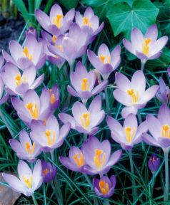 Branduse Barrs purple (Crocus Barrs purple)