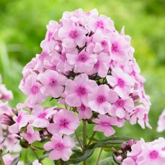 Brumarele, phlox (Phlox Bright Eyes)