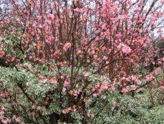 Calin de iarna (Viburnum x bodnantense Dawn)