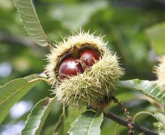 Castan comestibil (Castanea sativa)