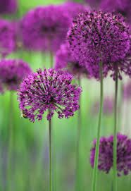 Ceapa decorativa Purple Sensation (Allium Purple Sensation)