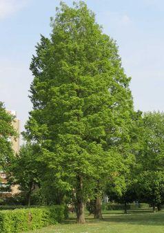 Chiparos de balta  (Taxodium distichum) 40/60 cm