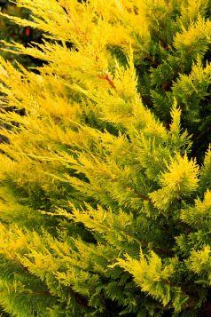 Chiparos leyland galben (Cupresocyparis leylandii Gold  rider)