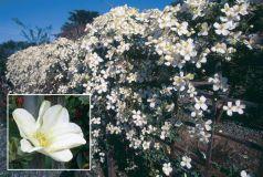 Clematita alba (Clematis montana grandiflora)