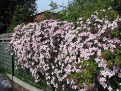 Clematita roz (Clematis Mayleen)
