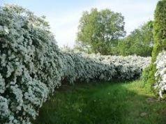 Cununita, floarea miresii (Spiraea Van-Houtei)
