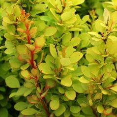 Dracila galbena (Berberis th. Golden  torch)