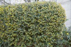 Dracila vesnic verde (Berberis julianae)