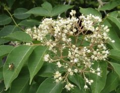 Euodia hupehensis seminte