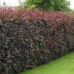 Fag rosu (Fagus sylvatica Atropunicea)