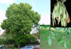 Frasin excelsior (Fraxinus excelsior)