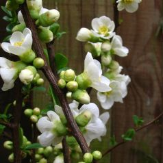 Gutui japonez alb (Chaenomeles speciosa Nivalis)