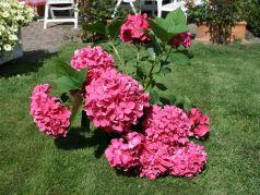 Hydrangea macr Leuchteuer – hortensia roz