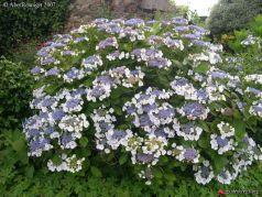 Hydrangea macrophylla Libelle - Hortensie