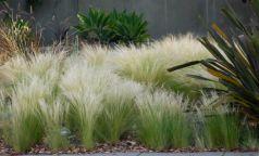Iarba ornamentala (Stipa tenuissima Pony Tail)