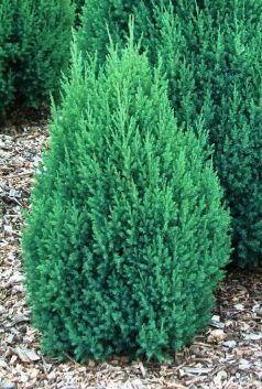 Ienupar chinezesc  (Juniperus chinensis Stricta)