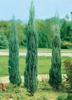Ienupar sageata (Juniperus Sky-rocket)