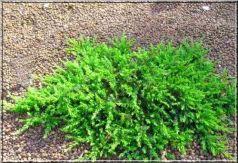 Ienupar tarator verde (Juniperus comm. Greenmantle)