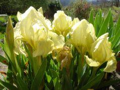 Iris pumila (Iris pumila)