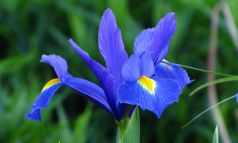 Irisi Blue hollandica  (Iris Blue hollandica)