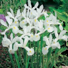 Irisi White hollandica  (Iris White hollandica)
