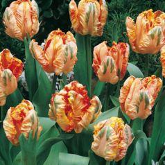 Lalele Apricot parrot (Tulips Apricot parrot)