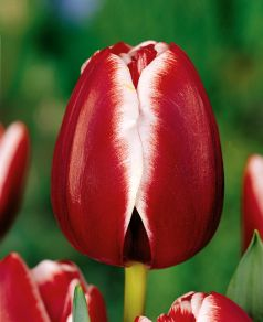 Lalele Armani 12+(Tulips Armani)