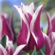 Lalele Ballade (Tulips Ballade)