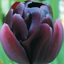 Lalele Black hero (Tulips Black hero)