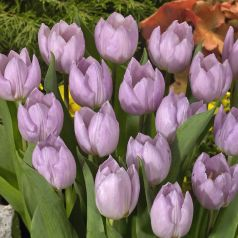 Lalele Candy prince (Tulips Candy prince)