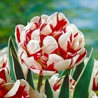 Lalele Carnaval de nice (Tulips Carnaval de nice)