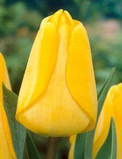 Lalele Golden apeldoorn (Tulips Golden apeldoorn)