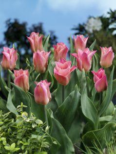 Lalele Miss elegance (Tulips Miss elegance)