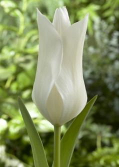 Lalele White triumphator (Tulips White triumphator)