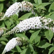 Liliac de vara alb (Buddleja dav. White Profusion)