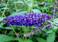 Liliac de vara albastru (Buddleja dav. Empire Blue)