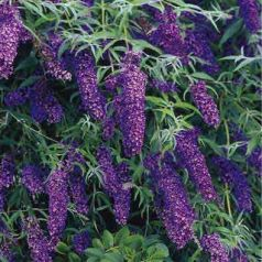 Liliac de vara mov inchis (Buddleja dav. Black Knight)