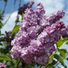 Liliac frantuzesc (Syringa vulg. Katherine Havemeyer)