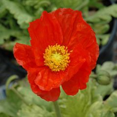 Mac rosu (Papaver Spring Fever Red)