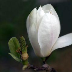 Magnolia alba Superba (Magnolia sou. Alba Superba)